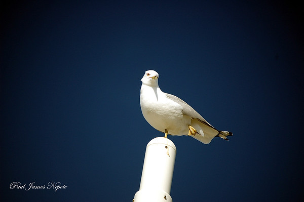 <b>Submitted By:</b> Paul J Nepote <b>From:</b> Traverse City, Michigan <b>Description:</b> Clinch Park Gull
