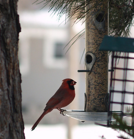 <b>Submitted By:</b> Randal S Hart <b>From:</b> traverse city <b>Description:</b> cardinal in my yard
