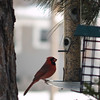 <b>Submitted By:</b> Randal S Hart <b>From:</b> traverse city <b>Description:</b> cardinal in my yard