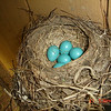 <b>Submitted By:</b> Fred Feiger <b>From:</b> Lake Ann <b>Description:</b> A photo of a Robin's nest next in our yard.