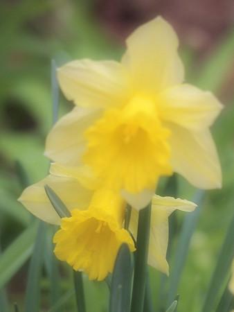 <b>Submitted By:</b> Gwen Rusnell <b>From:</b> Mancelona <b>Description:</b> Daffodiol's in full bloom!
