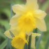 <b>Submitted By:</b> Gwen Rusnell <b>From:</b> Mancelona <b>Description:</b> Daffodiol's in full bloom!