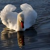 Photographer Susan Niles<br /> Traverse City, MI<br /> <br /> Swan Reflections<br /> Taken at Boardman Lake<br /> Traverse City, MI