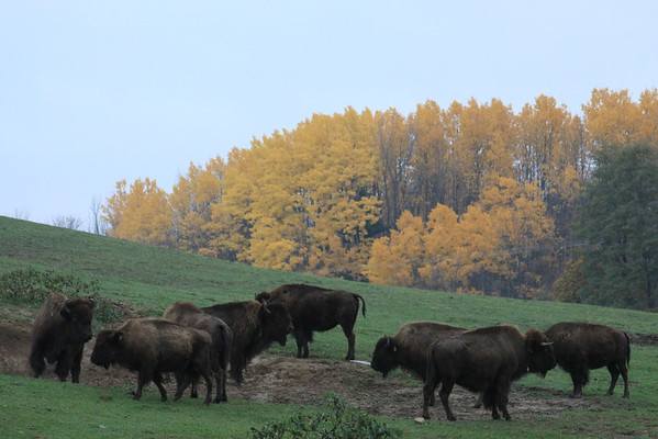 <b>Submitted By:</b> Pamella J.Murphy <b>From:</b> Traverse City <b>Description:</b> buffalo in fall numb.2