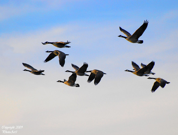 <b>Submitted By:</b> Susan Niles <b>From:</b> Traverse City, MI <b>Description:</b> Canadian Geese in flight in the late afternoon sun.  Taken at Boardman Lake.