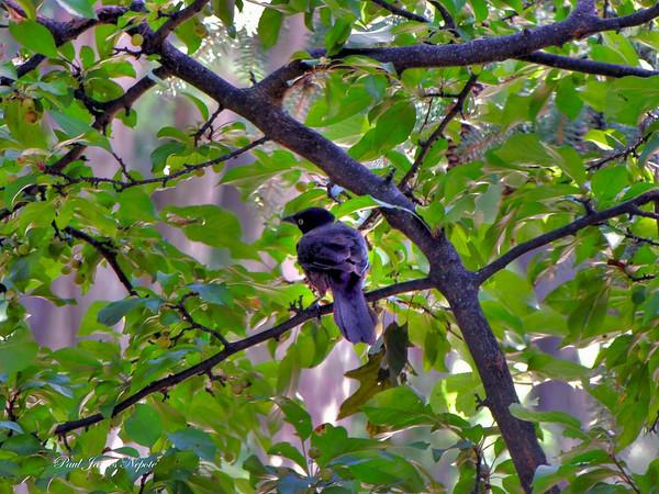 <b>Submitted By:</b> Paul James Nepote <b>From:</b> Traverse City, Michigan <b>Description:</b> Blackbird