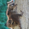 Racoons playing<br /> <br /> Photographer's Name: Sherry Good<br /> Photographer's City and State: Interlochen, MI