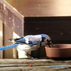 <b>Submitted By:</b> Randal  Hart <b>From:</b> traverse city <b>Description:</b> Blue jay eating cat food...