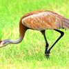 This Sandhill Crane sees something good to eat.<br /> <br /> John Novosad<br /> Houghton Lake
