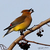 Photographer Susan Niles<br /> Traverse City, MI<br /> <br /> Cedar Waxwing<br /> Taken near Traverse City, MI