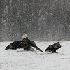 <b>Submitted By:</b> Helen Denoyer <b>From:</b> Traverse City <b>Description:</b> Taken in a field in the Kingsley area. There were 12 Bald Eagles feasting on a deer carcas.
