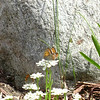 Laura Killman<br /> Copemish, MI<br /> <br /> Photo of baby butterflies taken spring 2008 in my front yard.