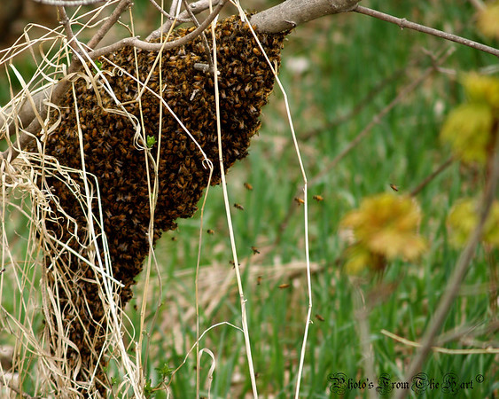 <b>Submitted By:</b> randal hart <b>From:</b> traverse city <b>Description:</b> bee's on a tree