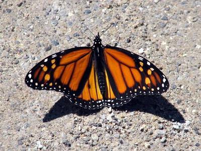 <b>Submitted By:</b> Melissa Kegg <b>From:</b> Cincinnati, OH <b>Description:</b> Butterfly in a trailhead parking lot near Acme, MI