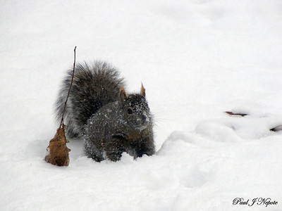 East Side Squirrel  Paul Nepote  Traverse City ab315@tcnet.org Canon PowerShort SX10 IS