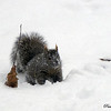 East Side Squirrel<br /> <br /> Paul Nepote  Traverse City<br /> ab315@tcnet.org<br /> Canon PowerShort SX10 IS