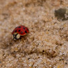 Lady bug , Photography of Peggy Sue Zinn<br /> <br /> Photographer's Name: Peggy Sue  Zinn<br /> Photographer's City and State: Traverse City, MI