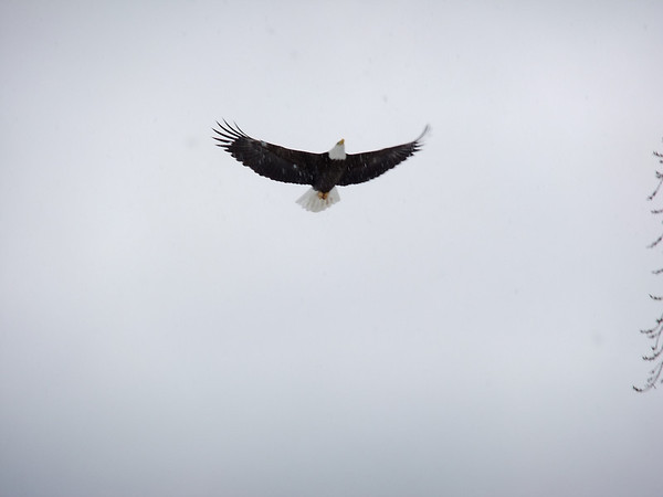 <b>Submitted By:</b> Brad Harris <b>From:</b> Traverse City <b>Description:</b> Eagle flying over shore line at our house on West Bay, returning to baby eagle.