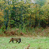 <b>Submitted By:</b> Daniel D Barnes <b>From:</b> Traverse City <b>Description:</b> Caught on Trail Cam