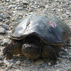 "<b>Submitted By:</b> Bill Scott <b>From:</b> Traverse City <b>Description:</b> "" I dare you to come closer"", said the large snapping turtle."