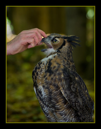 <b>Submitted By:</b> Laurie Lavrack <b>From:</b> Lake Ann <b>Description:</b> Great Horned Owl at Wings of Wonder raptor sanctuary, Empire