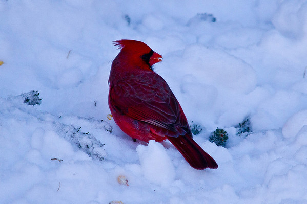 <b>Submitted By:</b> Timothy Decker <b>From:</b> Traverse City <b>Description:</b> Cardinal in the Snow