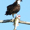 This Osprey (fish hawk) enjoys an omega-3 meal on his favorite branch.<br /> <br /> John Novosad<br /> Houghton Lake