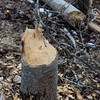 Busy Beavers.<br /> <br /> Photographer's Name: Pam Murphy<br /> Photographer's City and State: Traverse City, MI