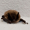 Batty about  Shopping<br /> <br /> Photographer's Name: Pamella Murphy<br /> Photographer's City and State: Traverse City, MI
