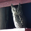<b>Submitted By:</b> Kelly Augustine <b>From:</b> Traverse City <b>Description:</b> We had a visitor in our wood shed. What a hoot!