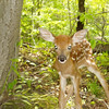 <b>Submitted By:</b> kendra campbell <b>From:</b> traverse city <b>Description:</b> This fawn was born on Memorial Day weekend in Leelanau County. It had been born just minutes before the picture was taken.