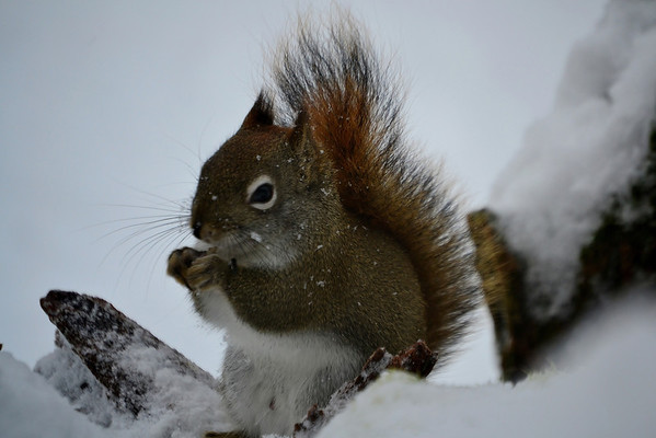 <b>Submitted By:</b> Myongsoon Cho <b>From:</b> Traverse City <b>Description:</b> December21,2012 A red squirrel is busy eating stormy day.