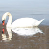 Everyone keeps telling meI should get my photo out there. So her it goes.<br /> I took this photo of the swan the other day down by the Boardman River. <br /> <br /> Bill Simmons<br /> Lake Ann