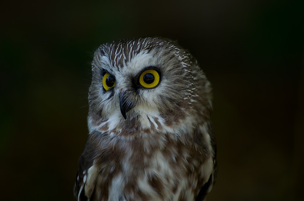<b>Submitted By:</b> Laurie Lavrack <b>From:</b> Lake Ann <b>Description:</b> This Saw-whet owl is one of the permanent residents at Wings of Wonder raptor sanctuary in Empire. These tiny birds can weigh less than 3 ounces, full-grown.