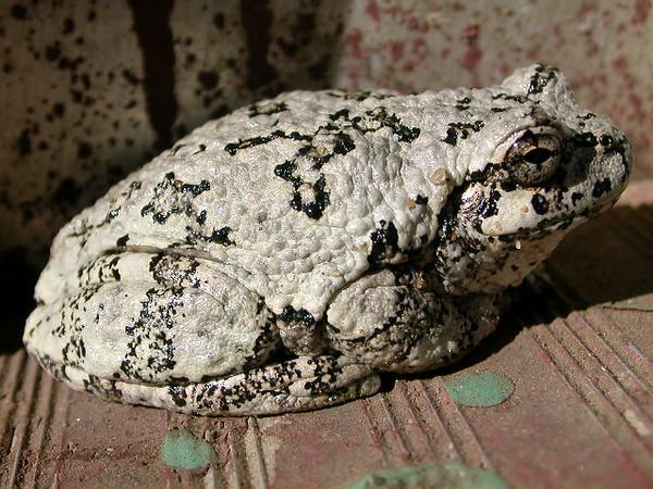 Toad on a brick<br /> <br /> Troy Keith<br /> Rapid City, MI