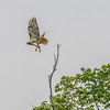 Red Tail Hawk<br /> <br /> Photographer's Name: Peggy Sue Zinn<br /> Photographer's City and State: Traverse City, MI