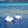 <b>Submitted By:</b> Tracey Nelson <b>From:</b> Traverse City <b>Description:</b> This picture was taken in early July at West End Beach. I was at the perfect place and time to get a great photo of these swans!!