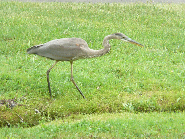 <b>Submitted By:</b> lawrence Loesel <b>From:</b> Traverse City, MI <b>Description:</b> Crane near Kid's Creek on grounds of TCSH. I believe it to be a Sandhill variety. Picture taken 8/13/11