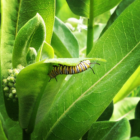 <b>Submitted By:</b> Andrea McPeake <b>From:</b> Interlochen <b>Description:</b> Found several monarch caterpillars while walking my daughter her bus stop.