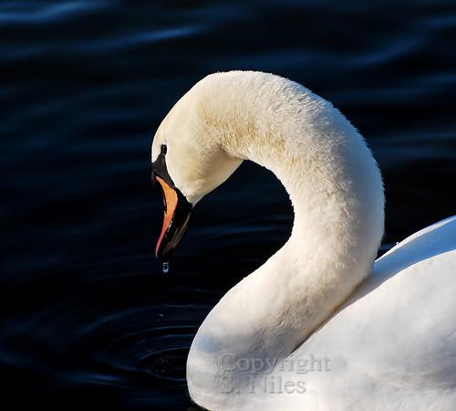 "Photographer Susan Niles<br /> Traverse City, MI<br /> <br /> ""Graceful Swan""<br /> Photo taken at Boardman Lake"