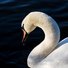 "Photographer Susan Niles<br /> Traverse City, MI<br /> <br /> ""Graceful Swan""<br /> Photo taken at Boardman Lake"