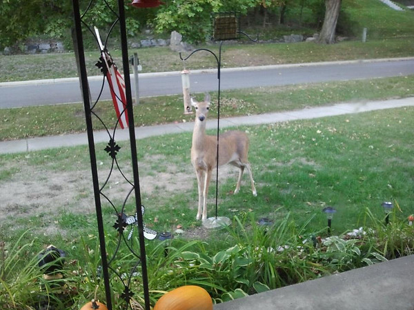 <b>Submitted By:</b> Caitlin Davis <b>From:</b> Frankfort <b>Description:</b> Doe in the front yard, down town Frankfort, eating bird seed!