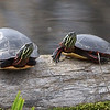 Turtles thinking about starting a family. They can be found in almost every<br /> wetland area.<br /> <br /> John Novosad<br /> Houghton Lake