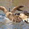 <b>Submitted By:</b> PEGGY SUE ZINN <b>From:</b> TRAVERSE CITY <b>Description:</b> GEESE ALONG THE BOARDMAN RIVER
