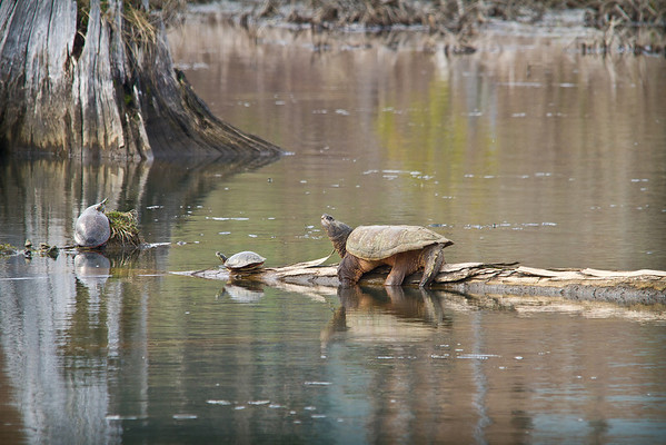 <b>Submitted By:</b> Peggy Sue Zinn <b>From:</b> Traverse City <b>Description:</b> Biggest Turtle I have ever seen.