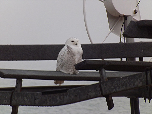 <b>Submitted By:</b> Henry S. Ramsby <b>From:</b> Traverse City <b>Description:</b> Photo taken Saturday 3/24/12 of a Snowy owl perched on a boat hoist at Wilke's Harbor West beach house. Has been there for a week.