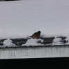 Robin on roof<br /> <br /> Taken by Kyle M. Sleder of Northport, Michigan on 03 February 2009<br /> <br /> Robin is on roof of my shed