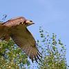 jeffrey villafane took this shot of a hawk in bellaire mi.  it had just <br /> taken off.