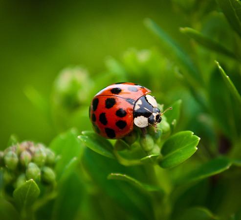 <b>Submitted By:</b> Steven Bath <b>From:</b> Williamsburg <b>Description:</b> Ladybug on Sedum.