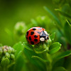 <b>Submitted By:</b> Steven Bath <b>From:</b> Williamsburg <b>Description:</b> Ladybug on Sedum.